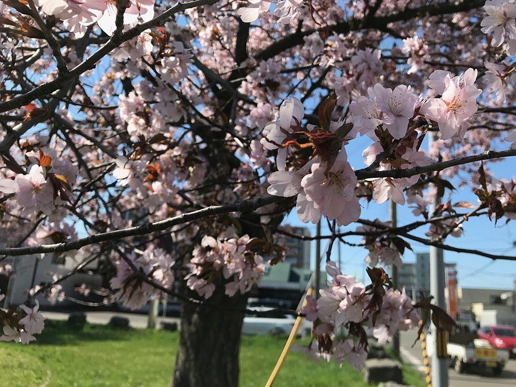 北海道の5月といえば、桜のシーズンです。桜には疫病などなんのその、今年も例年通りきれいに咲いております。
