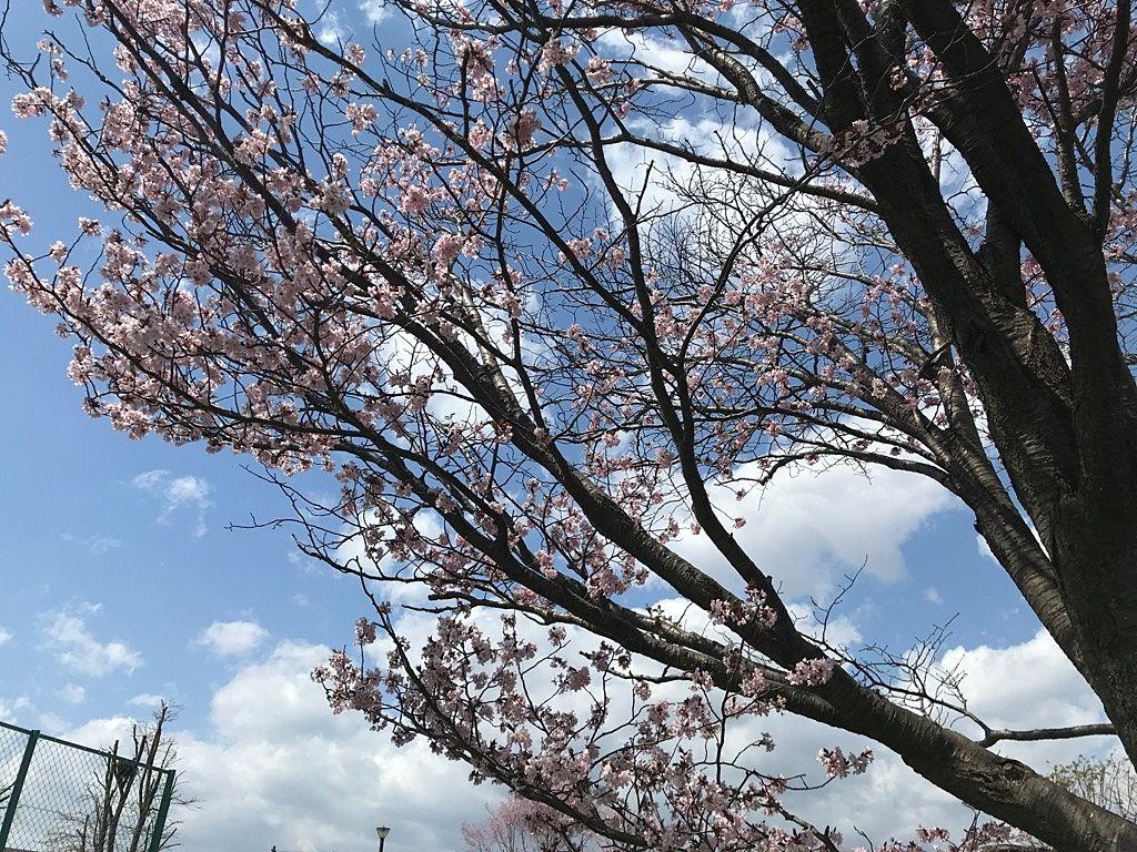 北海道は桜の季節です!